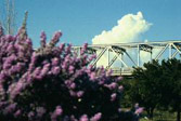 Purple Flower Bush with Bridge